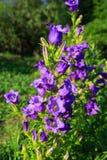 Purple canterbury bells flowers, landscape stock photo