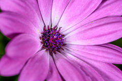 Purple Cape marguerite, macro of the center Royalty Free Stock Photo
