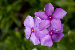 Purple cape Periwinkle. With it's leaves on it's plant Stock Image