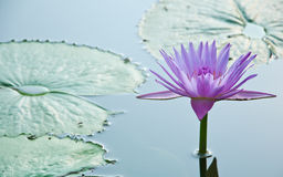 Purple Cape water-lilly in the lagoon. Purple Cape water-lilly or Nymphaea stellata Wild in the lagoon Royalty Free Stock Photos