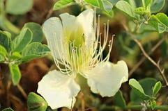 Purple capparis flower (Capparis herbacea) Royalty Free Stock Photography