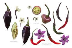 Purple Capsicums chile peppers, paths stock photo