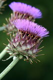Purple cardoon flowers Stock Image