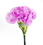 Purple Carnation. Single Flower, Isolated on a White Background stock photo