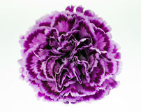 Purple Carnation Close-up Royalty Free Stock Photos