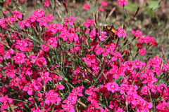 Purple carnations Stock Image