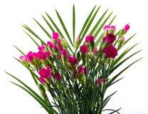 Purple carnations Stock Photos