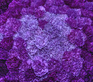 Purple carnations Royalty Free Stock Photo