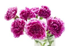 Purple carnations isolate on white Royalty Free Stock Photo