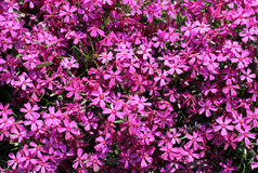 Purple carpet of flowers Royalty Free Stock Photo