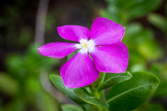 Purple Catharanthus Roseus Royalty Free Stock Photos