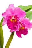 Purple cattlena, Orchid Royalty Free Stock Photos
