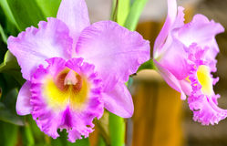 Purple cattleya flowers bloom in spring. With flower petals as big as ripe succulent lips royalty free stock photos