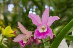 Purple cattleya hybrid orchid flower Stock Photography