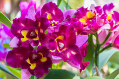 Purple Cattleya orchid. Beautiful purple Cattleya  orchid in Thailand,Close up of beautiful orchid Stock Image
