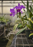 Purple Cattleya Orchid Stock Photo