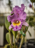 Purple Cattleya Orchid Stock Photography