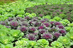 Purple cauliflower. In the Vegetable garden Royalty Free Stock Photos