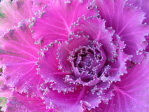 Purple cauliflower with dew drops. Close up of purple cauliflower with beautiful dew drops Royalty Free Stock Images