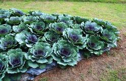 Purple cauliflower in garden Royalty Free Stock Image