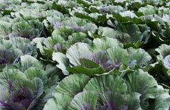 Purple cauliflower in garden Royalty Free Stock Photos