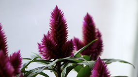 Purple celosia. Stock Photos