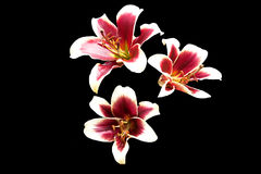 Purple centered lilies isolated on black Royalty Free Stock Image