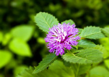 Purple Centratherum punctatum Cass flower. With green leaf Stock Photos