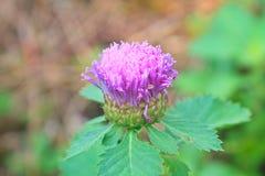 Purple Centratherum punctatum Cass flower. With green leaf Royalty Free Stock Photo