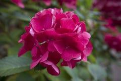 Purple cerise gekleurde Hydrangea hortensia in bloem Royalty-vrije Stock Foto