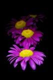 Purple chamomiles on black background Stock Photo