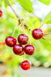 Purple cherries on a branch with leaves, backlit Royalty Free Stock Images
