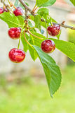 Purple cherries on a branch with leaves, close up Royalty Free Stock Photos