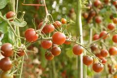 Purple cherry tomato. A bunch of purple cherry tomato in a green house Stock Photo