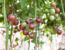 Purple cherry tomatoes growing in greenhouse Stock Images