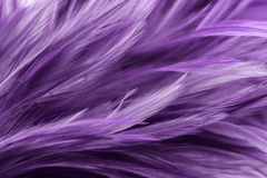 Purple chicken feathers in soft and blur style. For background royalty free stock photos