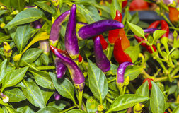 Purple chilli. The purple and red chilli Stock Photography