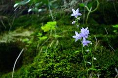 Purple Chimney bellflower royalty free stock photos