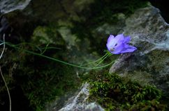Purple chimney bellflower blossoming in forest. stock images
