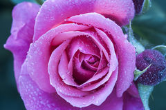 Purple china rose rosa chinensis jacq dewdrop Stock Image