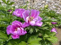 Purple Chinese peonies flowers stock photo