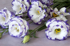 Purple chinese rose. Bouquet of white chinese rose with purle edging Stock Photos