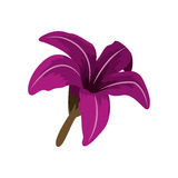 Purple Chinese rose with trumpet shaped petals Royalty Free Stock Photos