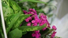 Purple chive flowers in full bloom. Purple chive flowers in full bloom stock video