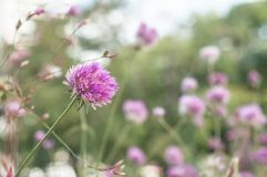Purple chive flowers in a pubic garden. Closeup of purple chive flowers in a pubic garden royalty free stock photo