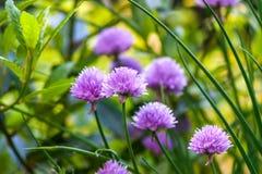 Purple Chive Flowers. Allium schoenoprasum with shallow depth of field stock photos