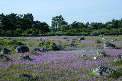 Purple chive wildflowers Royalty Free Stock Photos