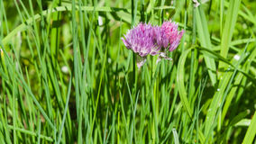 Purple chives blossom at flowerbed macro, selective focus, shallow DOF Stock Photo