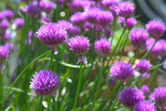 Purple chives blossom Royalty Free Stock Photo
