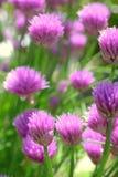 Purple chives blossom, macro photo Royalty Free Stock Photos